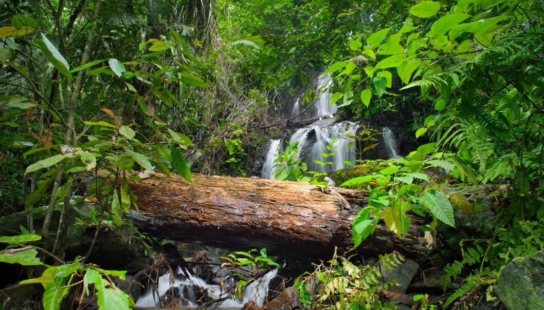 Forskere har funnet ut at det finnes opp mot 53 000 forskjellige trearter i verdens tropiske skoger. Det er omkring 400 ganger så mange som i Europa.  (Foto: Colourbox)