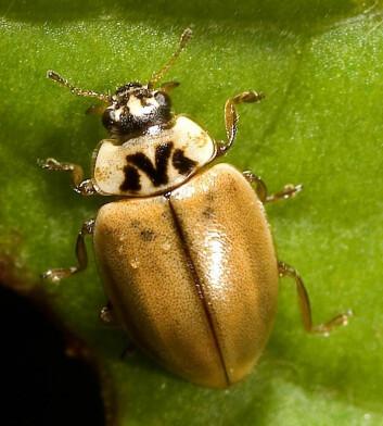 Den unnselige Aphidecta obliterata har lite gift i kroppen. Den satser nok mer på å gjemme seg for byteetere med god kamuflasje. (Foto: Kurt Kulac)