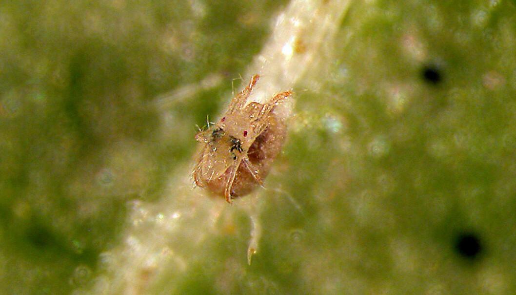 En spinnmiddhann vokter et kadaver av en hunn. (Foto: Karin Westrum, Bioforsk)