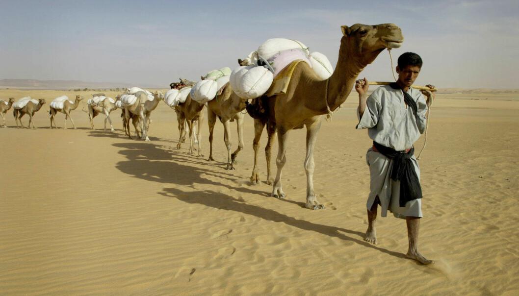 Sahel-regionens tørre savannebelte strekker seg fra Senegal i vest til Sudan i øst, sør for Sahara. Her en mauritansk kamel-karavan. (Foto: Reuters)