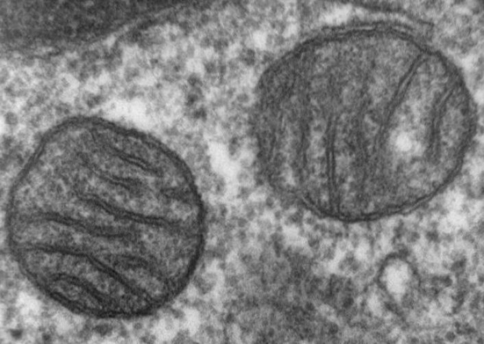 Mitokondrier er små kraftverk som finnes inni alle celler i kroppen. Denne forstørrelsen viser to mitokondrier i vev fra en pattedyrlunge. Forskere mener at mitokondriene en gang var bakterier, som ble en del av cellene vi stammer fra for over 1,5 milliarder år siden. (Foto: Creative Commons)