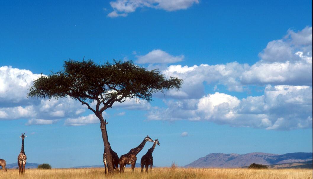 Forskere har funnet ut at savanner spiller en viktig rolle i verdens CO₂-balanse.  (Foto: Colourbox)
