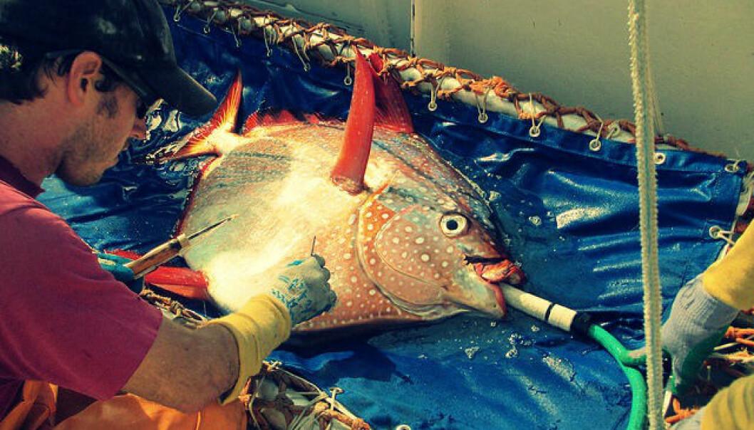 Biolog Nick Wegner setter inn en sensor i brystfinnemuskulaturen til en laksestørje. Utstyret skal registrere kroppstemperatur mens fisken svømmer rundt i havet.  (Foto: NOAA Fisheries Service)