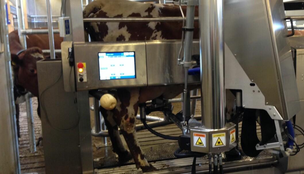 Hver tredje norske melkeliter går via melkerobot, og forskere spår at halvparten av norske kuer melkes med robot om fire–fem år. (Foto: Mette Risbråthe, NMBU)