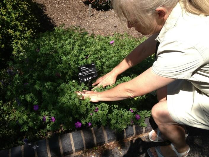 Kristina Bjureke fra Naturhistorisk museum i Oslo beundrer den norske blodstorkenebben i en botaniske hage i St. Louis, USA. (Foto: NHM)