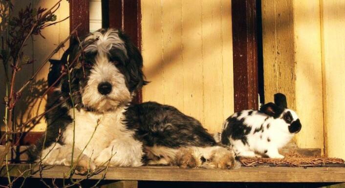 Cumulus har vært mye sammen med kaniner (frittgående, selvsagt ...) helt fra han var 8 uker gammel. Han retter derfor ikke jaktatferd mot dem, men godtar dem som en del av den sosiale gruppen.  (Foto: Emma Mary Garlant)