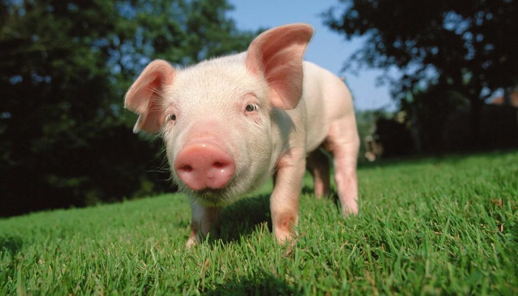 Griser har det best hvis de har muligheter for å rote med trynene sine, viser forskning. Men det et det ikke mange griser som får lov til, for bøndene må spare penger.  (Foto: Colourbox)