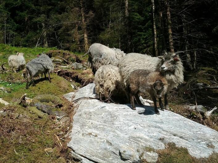 Gammelnorsk sau, også kalt villsau, ursau eller steinaldersau. (Foto: Kristian Fuglseth, CC BY-SA 4.0.)