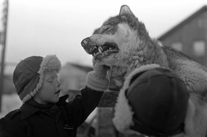 Ulvejakt i Finnmark vinteren 1949. Det skulle enda gå mer enn 20 år før ulven ble fredet i Norge. (Foto: Sverre A. Børretzen / Aktuell / Scanpix)