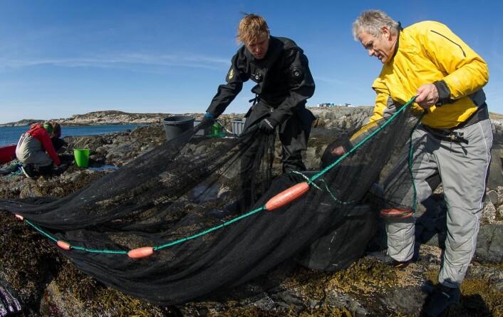 Sebastian Wacker og Trond Amundsen på Hitra. De kan dra opp flere hundre tangkutlinger i ett kast med garnet.  (Foto: Per Harald Olsen, NTNU)