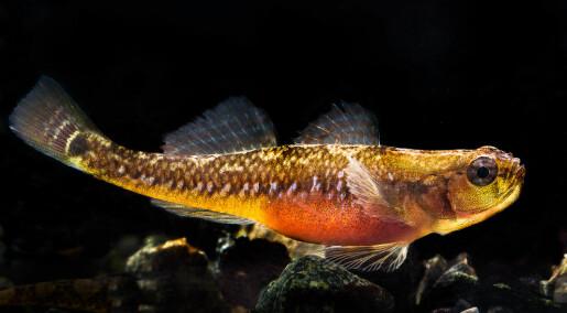 Fisken parrer seg på andre måter i Sverige