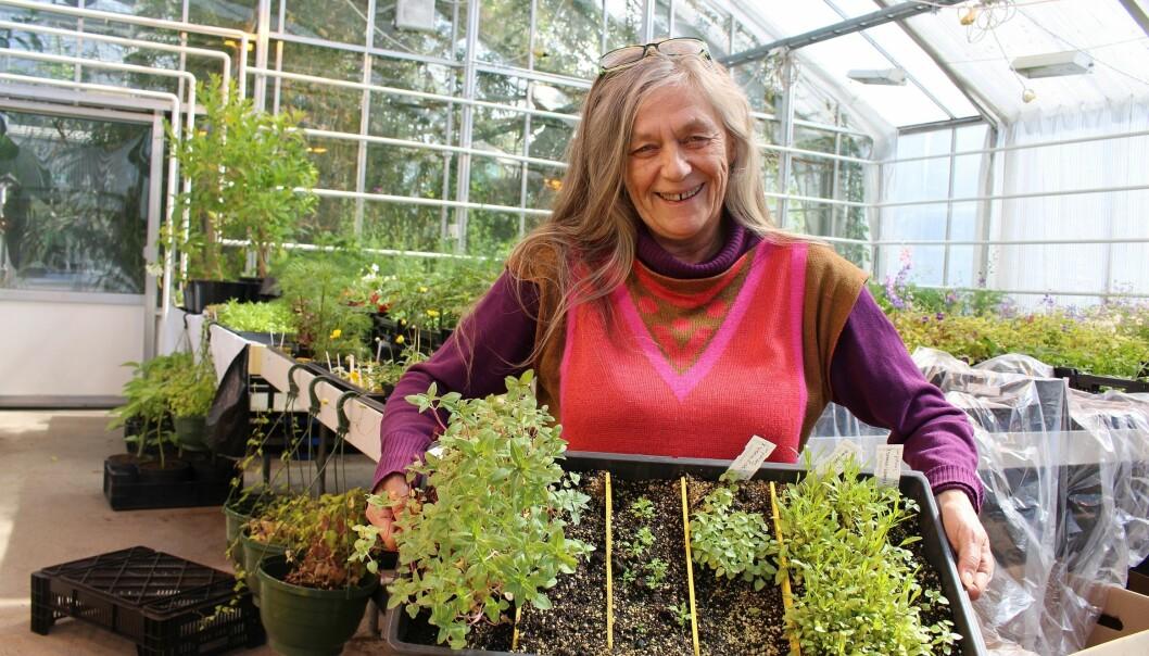 Anne Finnanger i Botanisk hage med såplanter klare for omplanting. (Foto: Dag Inge Danielsen)