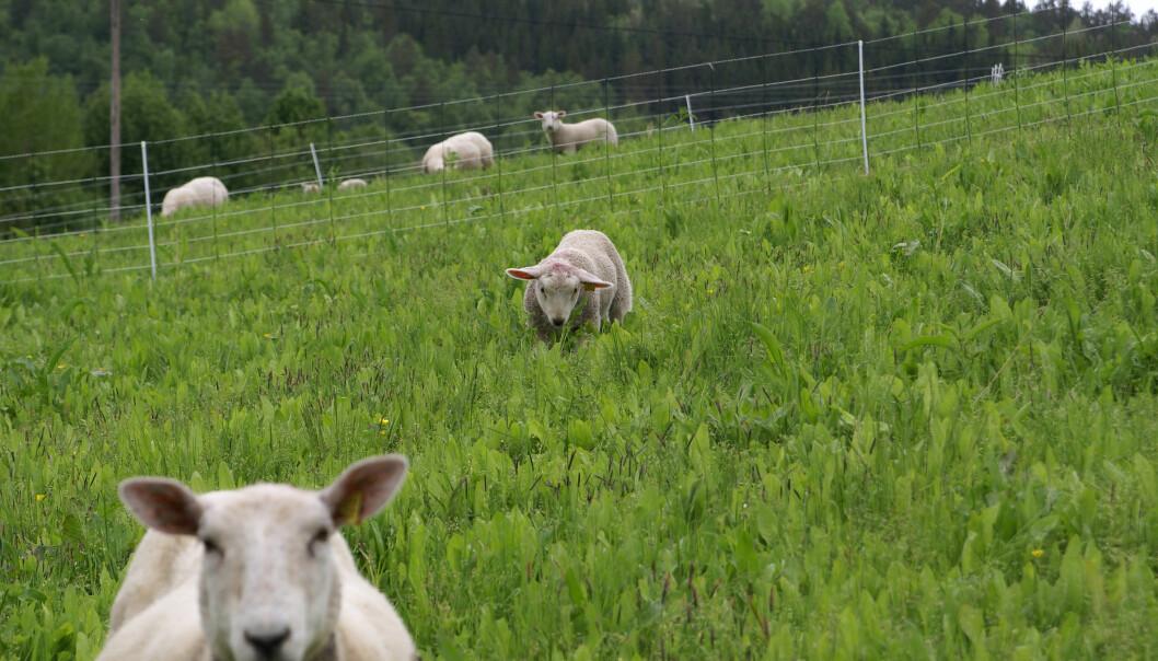 Lam som fôres med sikori, legger på seg mer enn de som ikke gjør det. Her fra forsøkene på Nord-Vestlandet.  (Foto: Alemayehu Kidane, Bioforsk)