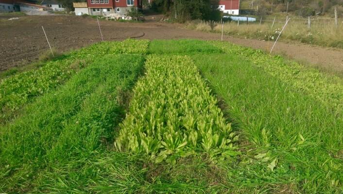 Bildet viser forsøksfelt med sikori, engfrøblanding og italiensk raigras. (Foto: Georg Smedsland, Norsk Landbruksrådgiving Agder)
