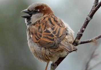Gråspurven høres med litt fantasi ut som en knirkende trillebår når den synger.  (Foto: Oddvar Heggøy)