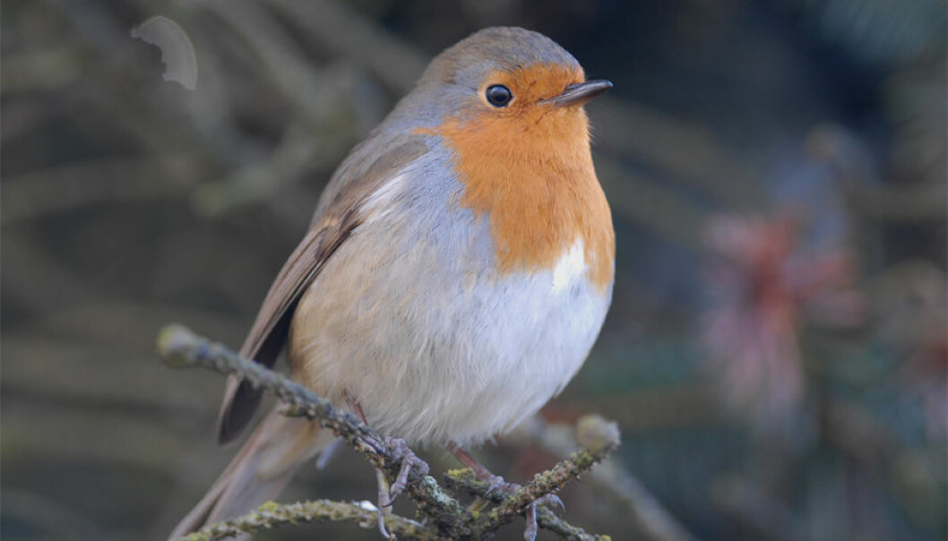 Rødstrupa er blant de aller tidligste fuglene som begynner å synge om våren.  (Foto: Oddvar Heggøy)