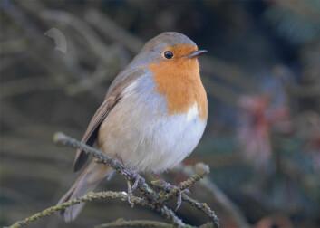 Rødstrupa er melankolikeren blant vårfuglene. (Foto: Oddvar Heggøy)