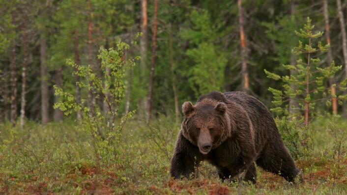 De sørfinske bjørnene beveger seg stadig lengre nordover. Og der treffer de på bjørner fra nordlige og østlige bestander.  (Foto: Alexander Kopatz)