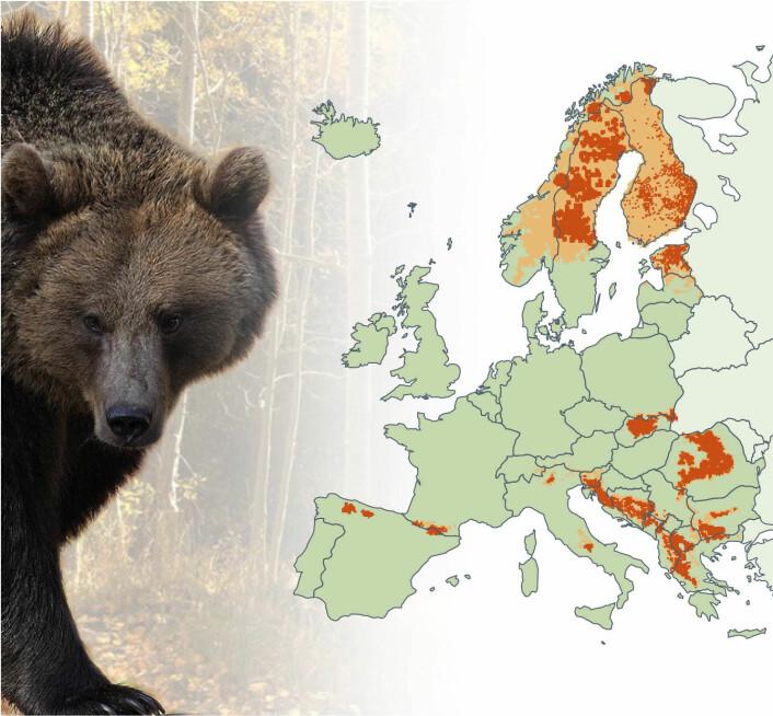I dag er det totalt omtrent 50 000 europeiske bjørner, som er fordelt på ti delbestander av svært varierende størrelse. Størst er den nordøst-europeiske bjørnestammen, med 37 000 individer, som er utbredt fra Latvia og Estland, gjennom Russland og Finland til Pasvikdalen i Øst-Finnmark. Den skandinaviske bjørnestammen teller minst 3000 individer. De finnes hovedsakelig i Sverige, men også i Sør- og Midt-Norge. (Foto: (Illustrasjon: Bioforsk))