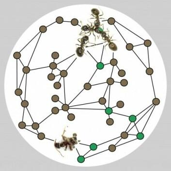 Illustrasjonen viser maur fra Line Vej Ugelvigs forsøk. Mauren med den grønne flekken på toppen er infisert med en dødelig dose soppsporer. Den blir rengjort av friske maur. Nederst et bilde av en død maur som det vokser soppsporer fra. Forskerne observerte kontakten med infiserte og friske maur. Prikkene illustrerer maur (grønne prikk er infiserte maur), og strekene som forbinder dem, er kontakten mellom disse.  (Foto: (Illustrasjon: Line Vej Ugelvig))