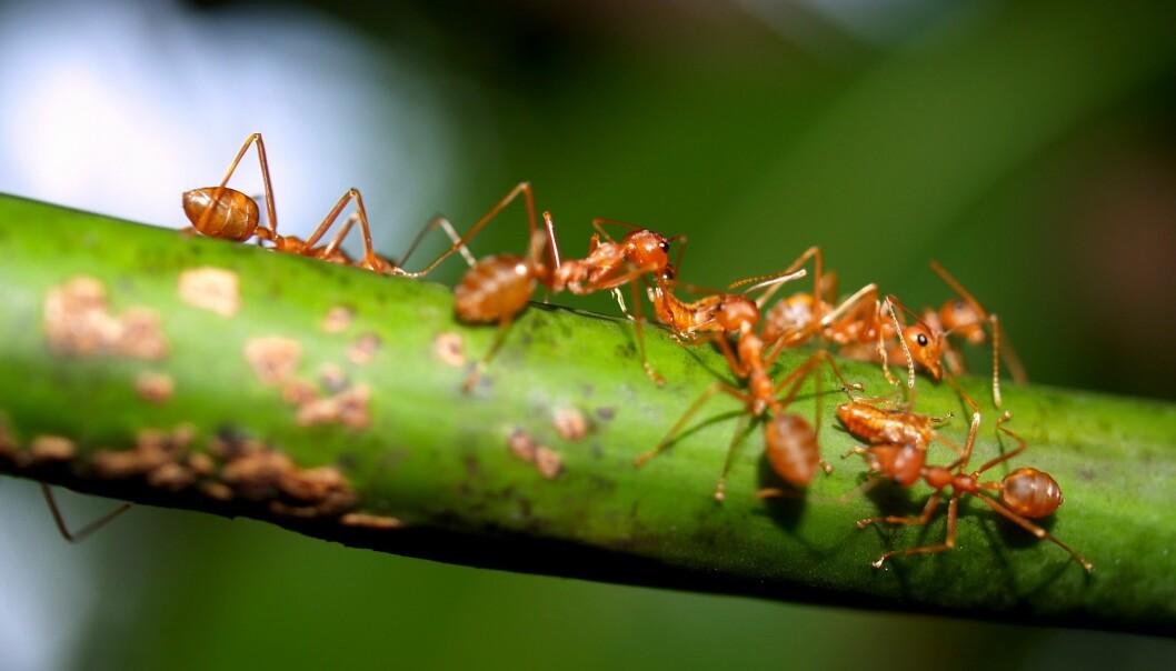 Forskere har infisert hagejordmaur (Lasius neglectus) med en soppsykdom. Det viste seg at friske maur forsøkte å «redde» de syke ved å rengjøre dem. (Foto: Colourbox)