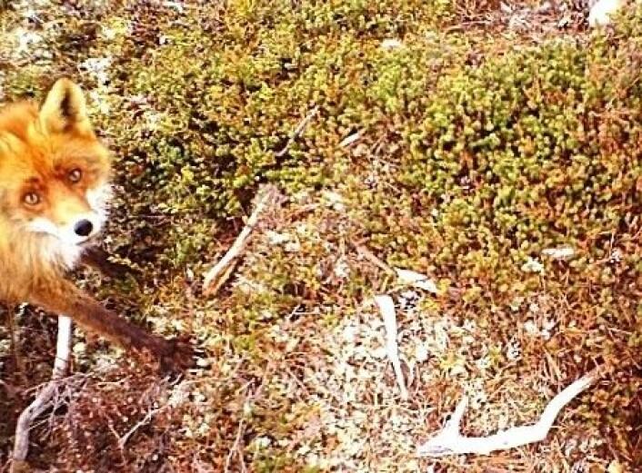 Viltkameraer gjør forskningen mye enklere for mange naturforskere. Her avslører rødreven seg selv. Eggene er spist opp. (Foto: Høgskolen i Hedmark)