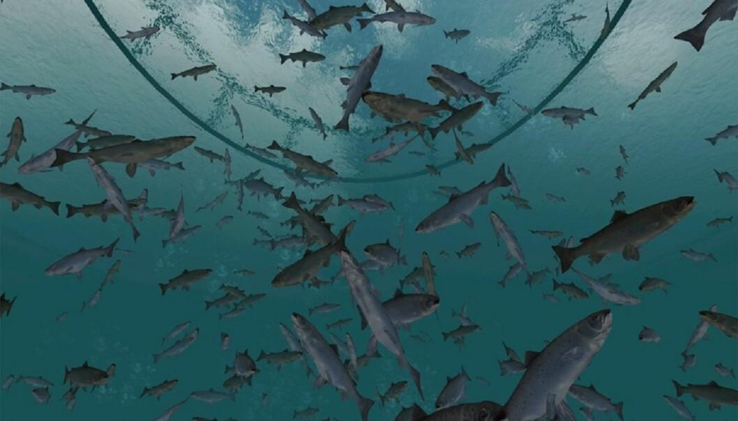 Nå kan du svømme rundt blant laksen i merdene. Uten å bli våt.  (Illustrasjon: NTNU)