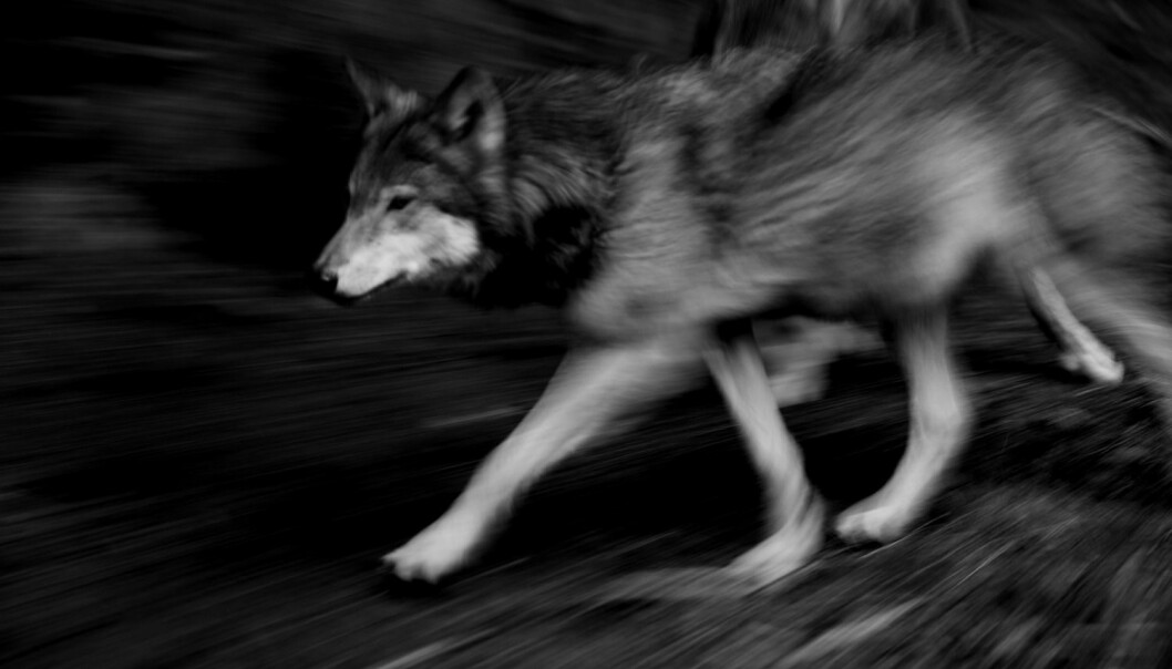 Motstanden mot ulv på bygda i Norge handler ikke om ulven. Den handler om noe annet, mener forskere i Hedmark.  (Foto: Tom Schandy / NN / Samfoto)