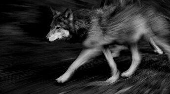 Godtar ulovlig jakt på ulv