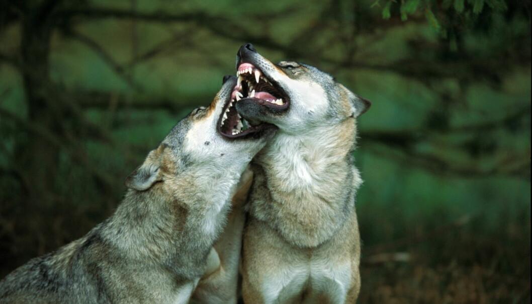 I Sverige er det ti ganger så mye ulv som i Norge. Det er klart mindre aksept i Norge for å la disse dyrene være en del av naturen. (Foto: Lars Gejl/NTB Scanpix)