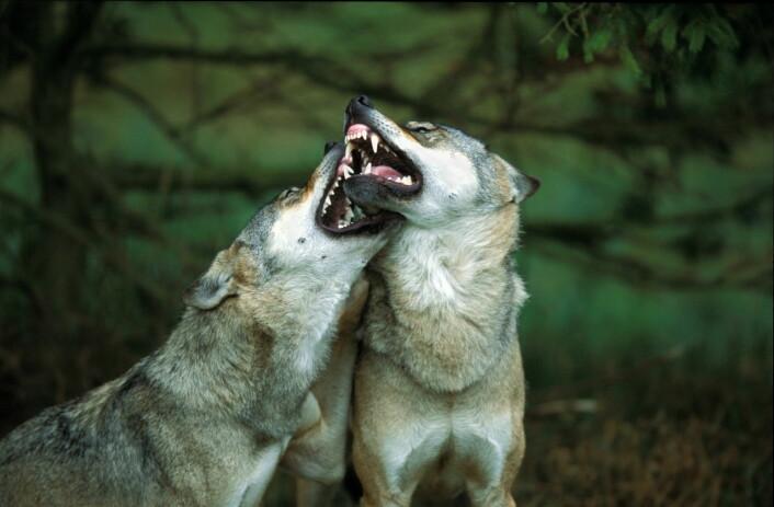 I Sverige er det ti ganger så mye ulv som i Norge. Hos oss er det klart færre som godtar at disse dyrene er en del av naturen. (Foto: Lars Gejl/NTB Scanpix)