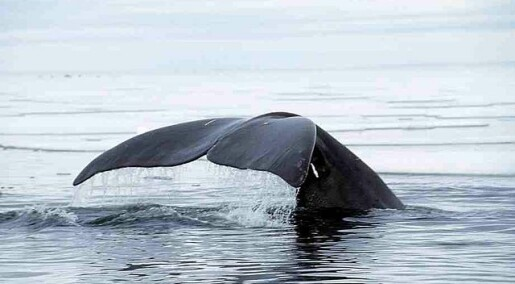 Stabilt for grønlandskvalen