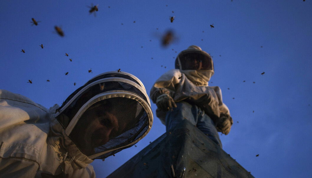 Amerikanske birøktere i delstaten Maine står oppå en lastebil med bier. De skal flytte biene for å pollinere en diger avling. (Foto: Adrees Latif/Reuters)