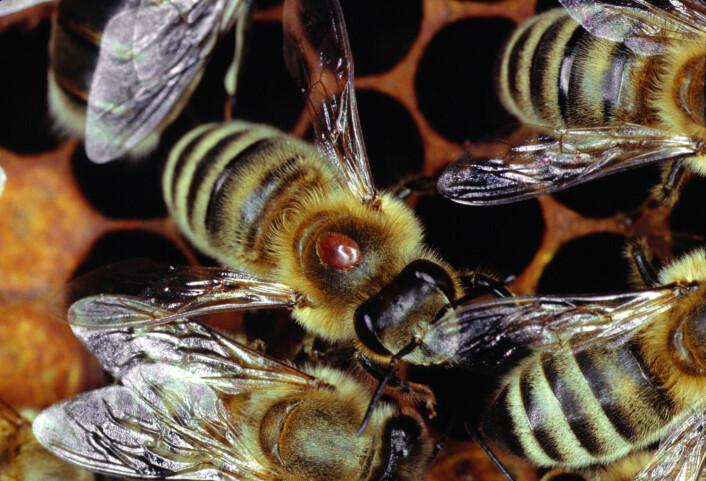 Varroa-midden er den røde klumpen som sitter på ryggen til bien. Midden er ikke mer enn  1,6 mm bred, men den kan spre farlige sykdommer blant biene. (Foto: Klaus Nowottnick/DPA)