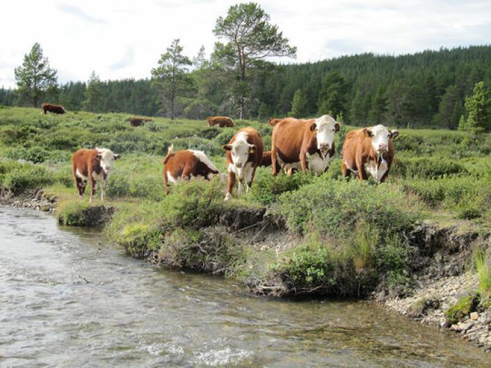 Vil vi ha tilbake mer av det vakre kulturlandskapet som fantes for 50 og 100 år siden, kan vi få svært god hjelp av store kjøttdyr som beiter. Disse dyrene er langt mer effektive enn sauen til å skape kulturlandskap. ( (Foto: Yngve Rekdal/Skog og landskap)