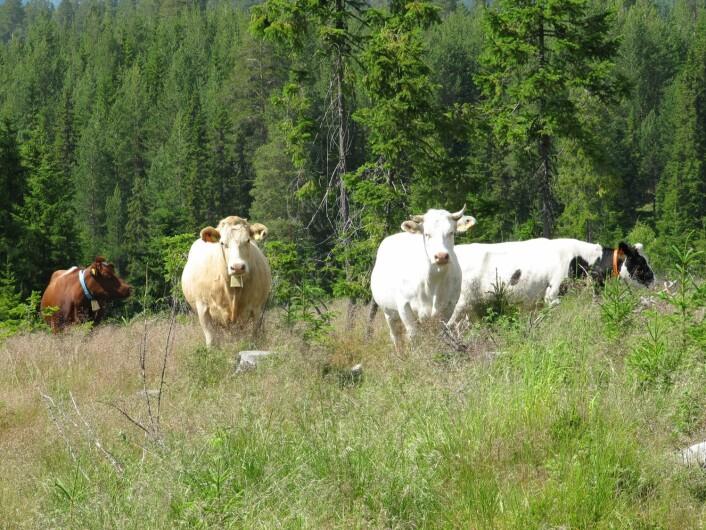 Hedmark har som målsetting i bli Norges største kjøttfylke. I sommer slippes det 20 000 store kjøttdyr på beite i hedmarkskogen. Dyr på utmarksbeite blir kortreist mat. Dyrevelferden blir høy når dyra får gå fritt. For bøndene blir det samtidig både rasjonelt og rimelig å sende kyrne ut i skogen, slik bønder gjorde før i tiden.   (Foto: Yngve Rekdal/Skog og landskap)