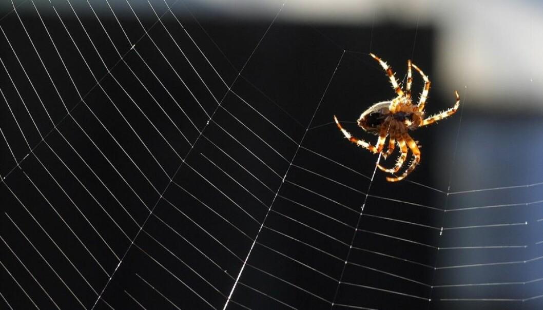 Edderkoppen bruker de fine silketrådene til de mest avanserte oppgaver.  (Foto: Heidi Maxmiling, Scanpix Danmark)