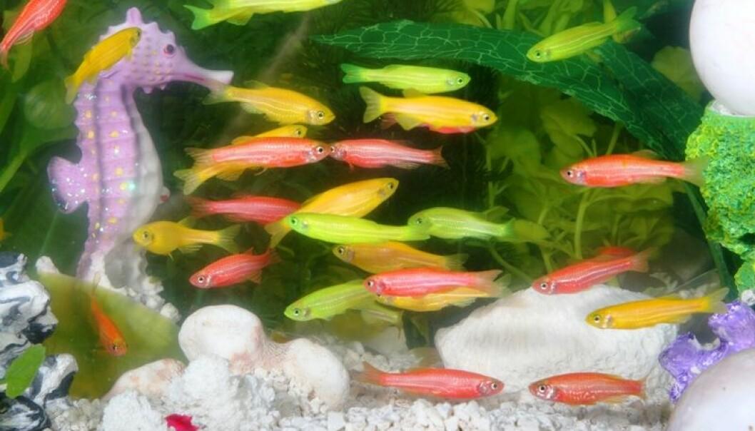 GloFish, en patentert, genmodifisert sebrafisk kjennetegnes ved de sterke fargene.  (Foto: Wikimedia/www.glofish.com)