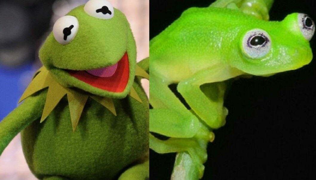 Hyalinobatrachium dianae er nokså lik Kermit. For ordens skyld: Kermit er frosken til venstre.  (Foto: Brian Kubicki/AP Photo/Disney, Gene Duncan)