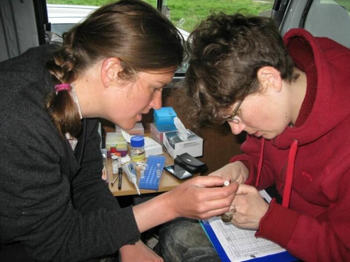 Becky Cramer (til venstre) og Gunnhild Marthinsen frå NHM tek prøver av sporvesperm i samband med ein annan studie.  (Foto: Even Stensrud, NHM)