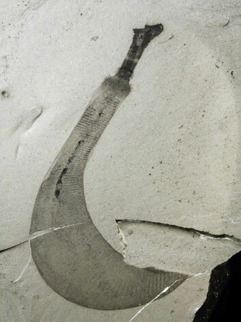 Dette er fossilet av den nye arten, Ottoia tricuspida. (Foto: Martin Smith)