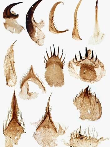 Slik ser tennene til fossilet av penismarken <i>Ottoia prolifica</i> ut. Foto: Tom Harvey
