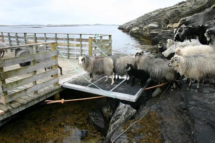 Sauen føres til øybeite med båt. (Foto: Vibeke Lind)