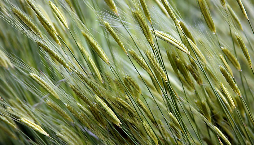 Korn kunne ikke dyrkes overalt, og favoriserte et tettere bosettingsmønster. Det ga staten bedre oversikt og mulighet til å innkreve skatter og kontrollere arbeidskraft og produksjon, ifølge James Scott.