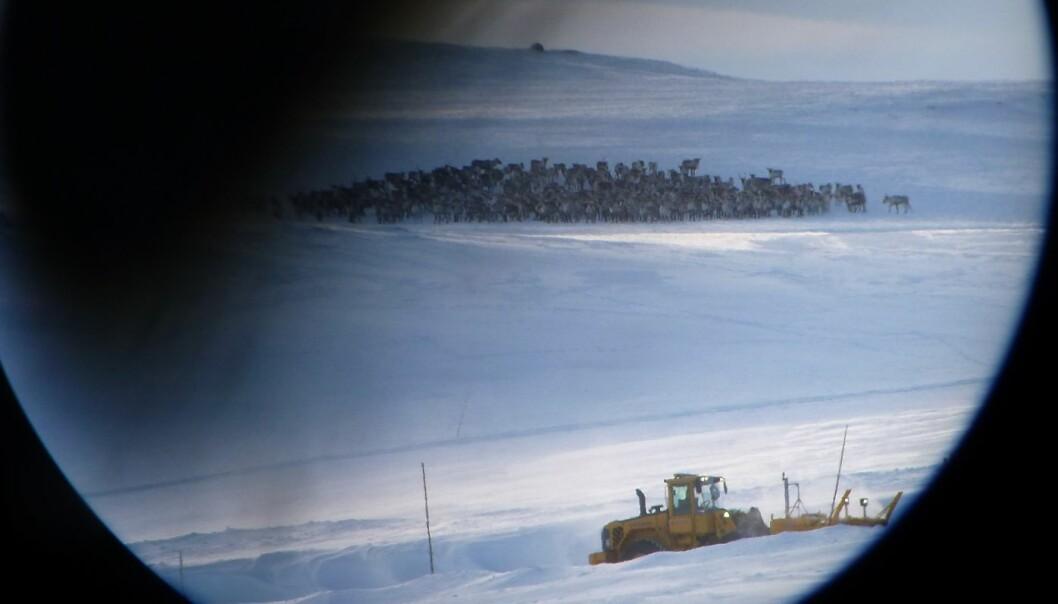 Villrein ved Rv7 på Hardangervidda.  (Foto: Knut Nylend, Statens naturoppsyn)