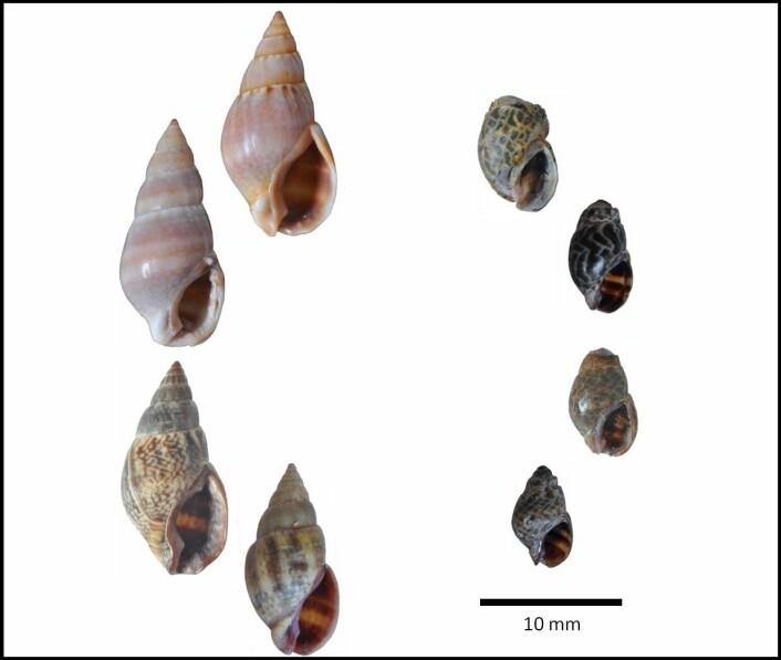 Sneglene til høyre er fra det «sure» vannet, mens de til venstre kommer fra vanlig vann. (Foto: Havforskningsinstituttet)