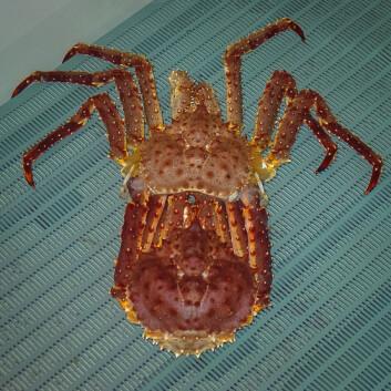 Kongekrabbe midt i skallskiftet. Den lyse delen er det gamle skallet, mens krabben er rød. Hun er myk, sårbar og klar for paring. Foto: Børge Damsgård