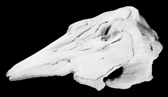 Naturen streber etter symmetri, men skallen til hvithvalen er asymmetrisk. Her har Trond Kasper Mikkelsen laget en symmetrisk utgave av skallen i papp. Han kaller den et hyperfossil.  (Foto: Trond Kasper Mikkelsen)