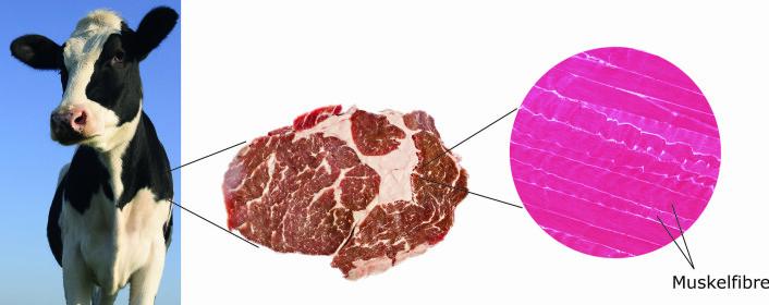 Muskel består av muskelfibre som er buntet sammen, og som sammen med fettvev og bindevev utgjør kjøtt. Her er kjøtt fra storfe illustrert.  (Foto: (Illustrasjon: Nofima))