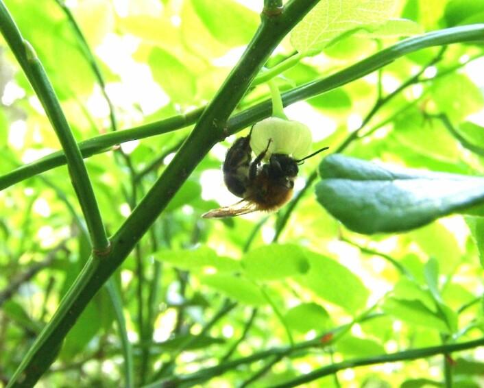 Fjellsandbia finnes både i skogen og i fjellet. Den har spesialisert seg på blomster som ligner på blåbær. Den er en viktig pollinator for skogsbær. (Foto: Markus Sydenham)